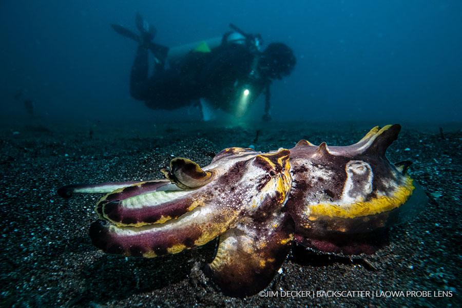 ©Jim Decker - Laowa Venus 24mm f/14 Macro Probe Lens Underwater Lens Review - Diver with Cuttle Fish