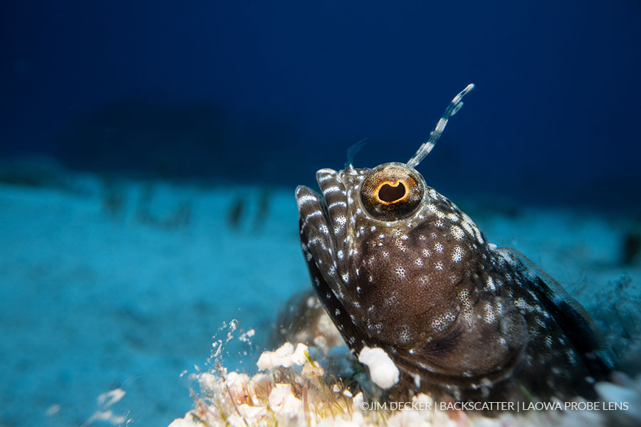 ©Jim Decker - Laowa Venus 24mm f/14 Macro Probe Lens Underwater Lens Review - Gobe with Blue Background