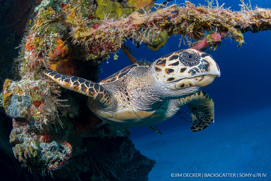 ©Jim Decker - Sony a7R IV Underwater Camera Review - turtle