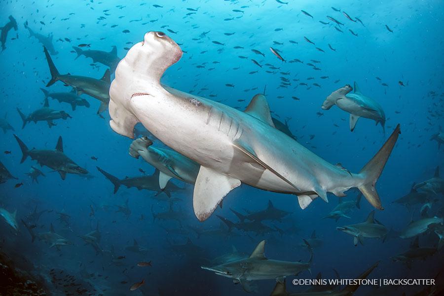 Galapagos_Dennis_Whitesetone_Scalloped_hammerhead