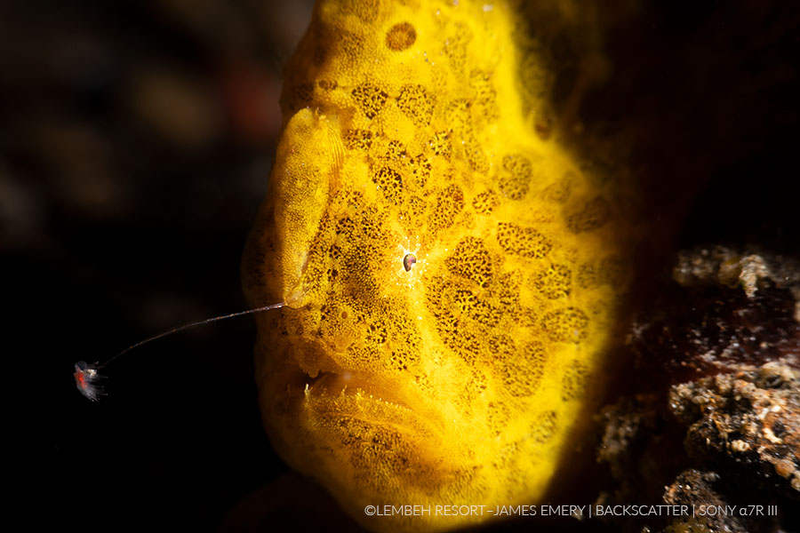©James Emery -  Frogfish Underwater Photo Tips For Lembeh - Dual Strobe Frogfish