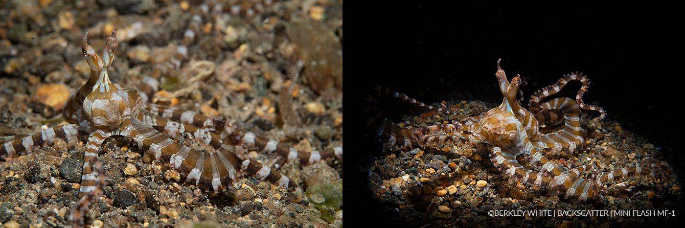 ©Berkley White - Backscatter Mini Flash Field Test - Octopus Side By Side