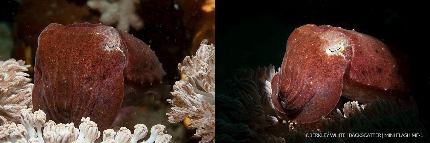 ©Berkley White - Backscatter Mini Flash Field Test - Cuttlefish Side By Side