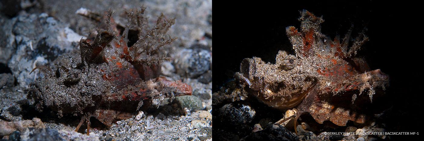 ©Berkley White - Backscatter Mini Flash Field Test - Scorpion Fish Side By Side