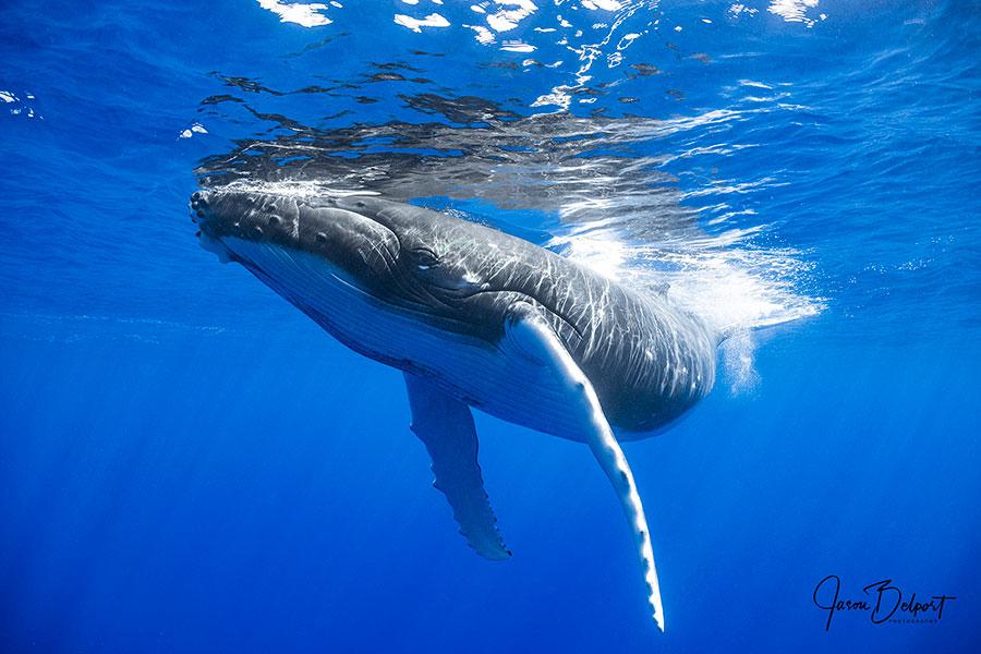 ©Jason Belport - Moorea Tahiti Dive Photo Trip - Showing Off