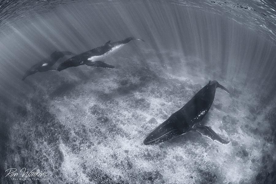©Ron Watkins - Moorea Tahiti Dive Photo Trip - 3 Whales
