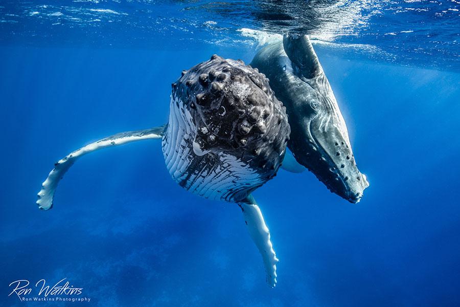 ©Ron Watkins - Moorea Tahiti Dive Photo Trip - Mother & Calf
