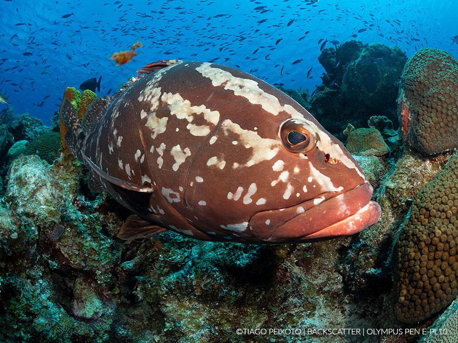 ©Tiago Peixoto - Olympus PEN E-PL10 Underwater - Grouper Profile