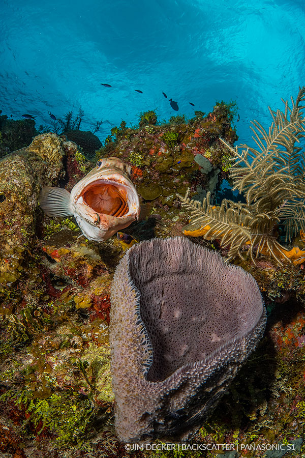 ©Jim Decker - Panasonic LUMIX S1 Underwater Camera Review - Grouper & Sponge