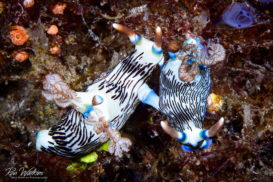 ©Ron Watkins - Atmosphere Philippines - Mating Nudibranchs