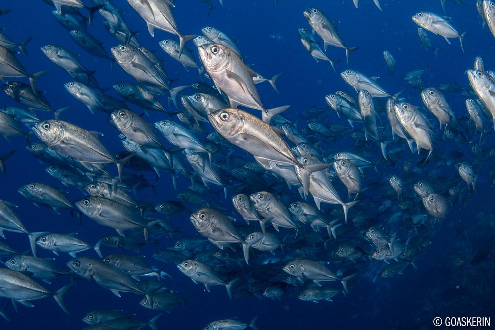 ©Erin Quigley - Socorro Islands Mexico - Nautilus Explorer - School of Fish