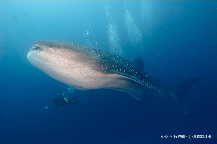 ©Berkley White - Cocos Dive Adventure - Whale Shark