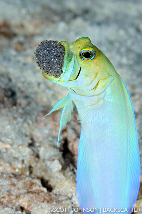 Backscatter Cuba Underwater Photography Trip Jan 17-25 & Jan 24 - Feb 2, 2020 Jawfish
