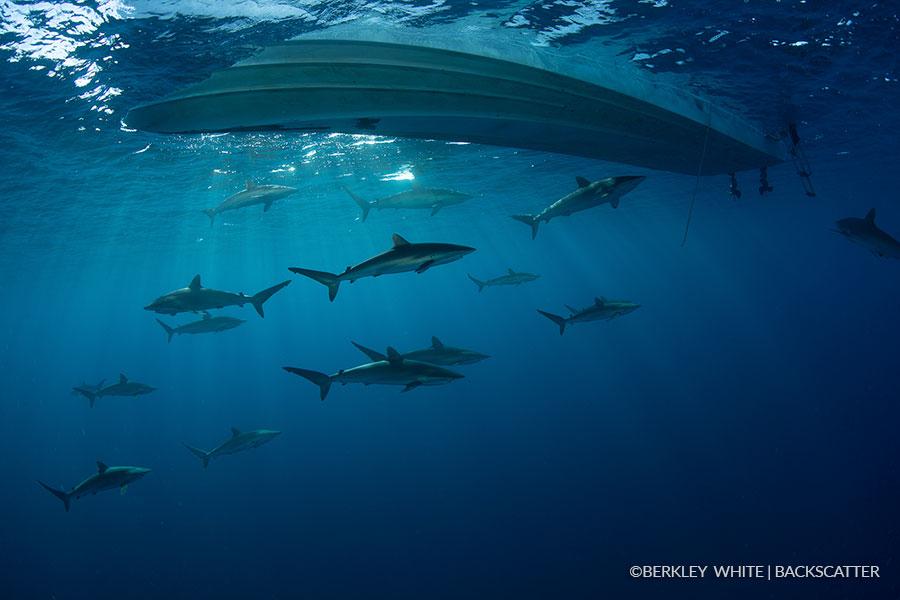 ©Berkley White - Garden Of The Queens, Cuba - Sharks around the boat