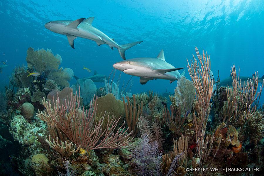 ©Berkley White - Garden Of The Queens, Cuba - Sharks on Reef