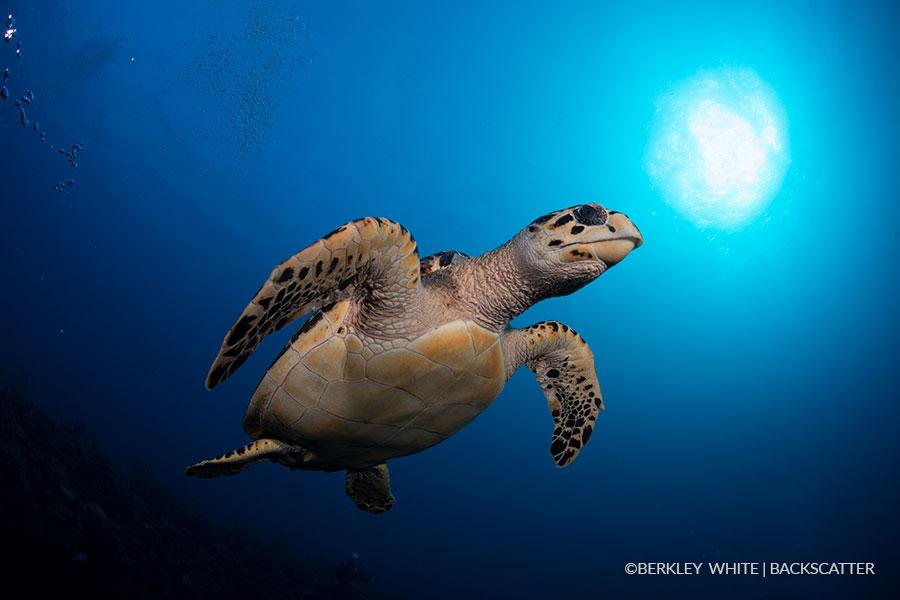 ©Berkley White - Garden Of The Queens, Cuba - Turtle