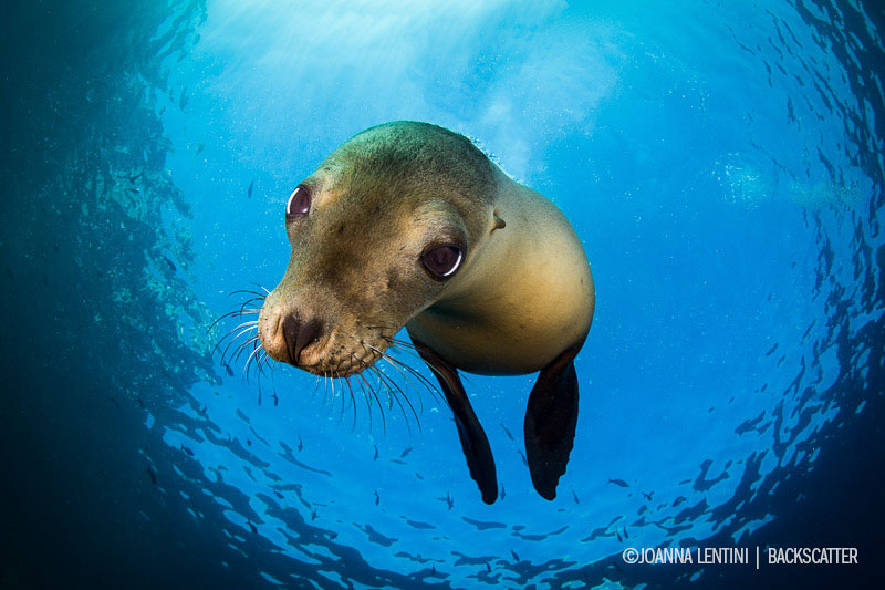 ©Joanna Lentini - SEA OF CORTEZ FOR EPIC MARINE LIFE ENCOUNTERS - Sea lion Face