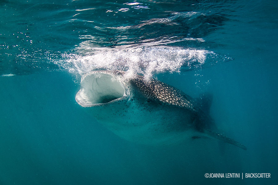©Joanna Lentini - SEA OF CORTEZ FOR EPIC MARINE LIFE ENCOUNTERS - Whale Shark