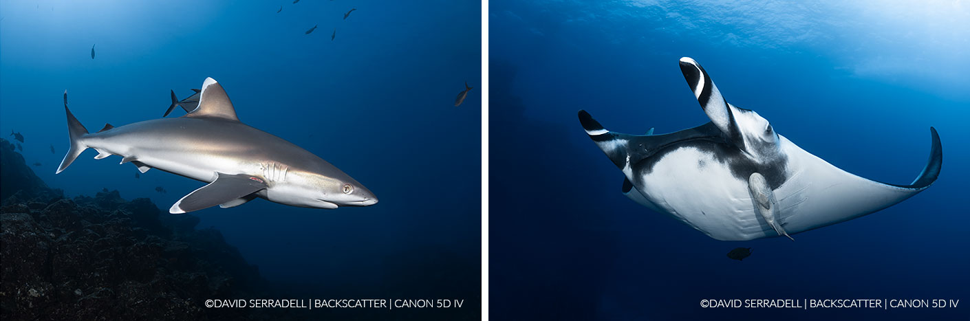 ©David Serradell - How To Shoot Giant Mantas in Socorro - Silvertip & Manta