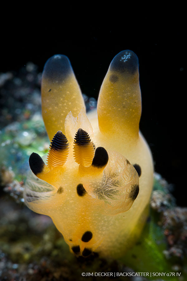 ©Jim Decker - Sony a7R IV Underwater Camera Review - nudibranch