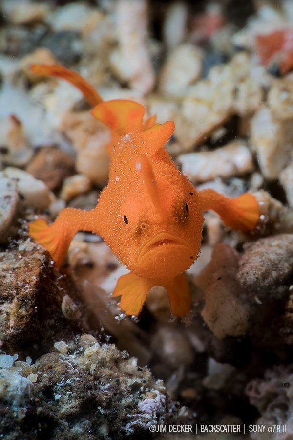 © Jim Decker - Sony a7R Mark II Underwater Review Frogfish
