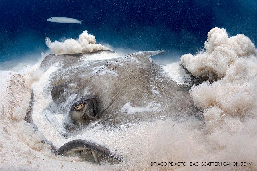 ©Tiago Peixoto - How to shoot stingrays in little cayman - JUST STINGRAYS
