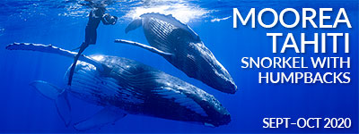 Moorea Tahiti – Snorkel with Humpback Whales – Sept & Oct, 2020