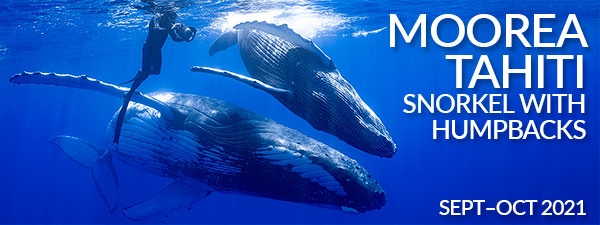 Moorea Tahiti – Snorkel with Humpback Whales – 3 Trips from September to October, 2021