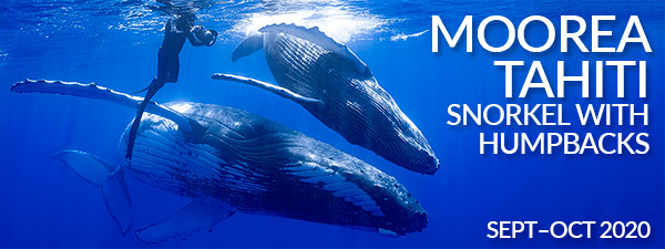 Moorea Tahiti – Snorkel with Humpback Whales – 3 Trips from September to October, 2020
