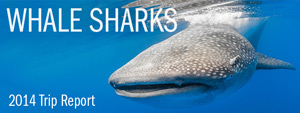 Whale Sharks of Isla Mujeres - 2014 Trip Report