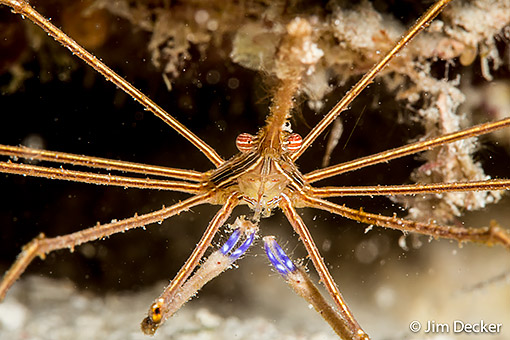 Arrow Crab on the house reef at Coco View
