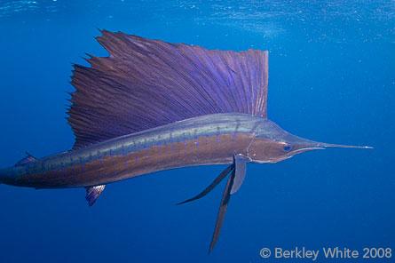 http://www.backscatter.com/learn/article/photos/BerkleyWhite_D300_sailfish_detail.jpg