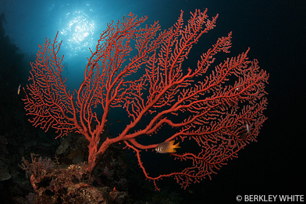 Sea Fan <a href='http://www.backscatter.com/HostedStore.LassoApp?-ResponseLassoApp=detail.lasso&ID=cccda0995ce8f21a1ccd009ffd3d1b47&s4op=cn&s4=canon%207d&s6op=cn&s6=Sh' class='standard'>Canon 7D</a> Tokina 10-17 underwater