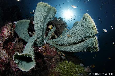 Sponge <a href='http://www.backscatter.com/HostedStore.LassoApp?-ResponseLassoApp=detail.lasso&ID=cccda0995ce8f21a1ccd009ffd3d1b47&s4op=cn&s4=canon%207d&s6op=cn&s6=Sh' class='standard'>Canon 7D</a> Tokina 10-17 Underwater