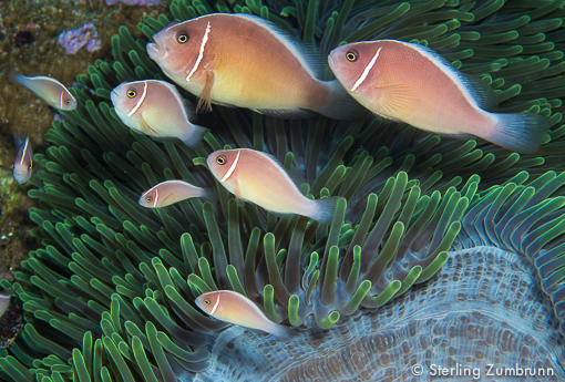 Anemone fish taken with an Olympus E-M5 with a Pansonic 45mm Macro lens by Sterling Zumbrunn