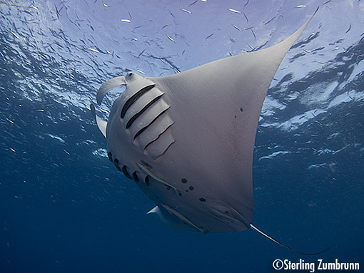 Manta Ray photographed with a <a href='http://www.backscatter.com/sku/cn-6351b001.lasso' class='standard'>Canon S110</a> in Palau by Sterling Zumbrunn