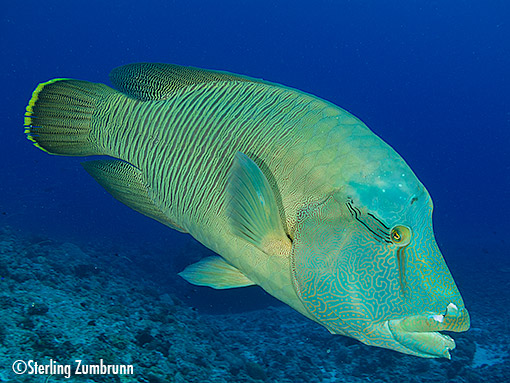 Napoleon Wrasse photographed with a <a href='http://www.backscatter.com/sku/cn-6351b001.lasso' class='standard'>Canon S110</a> and <a href='http://www.backscatter.com/sku/fe-fx-uwl-28.lasso' class='standard'>UWL-28</a> Lens
